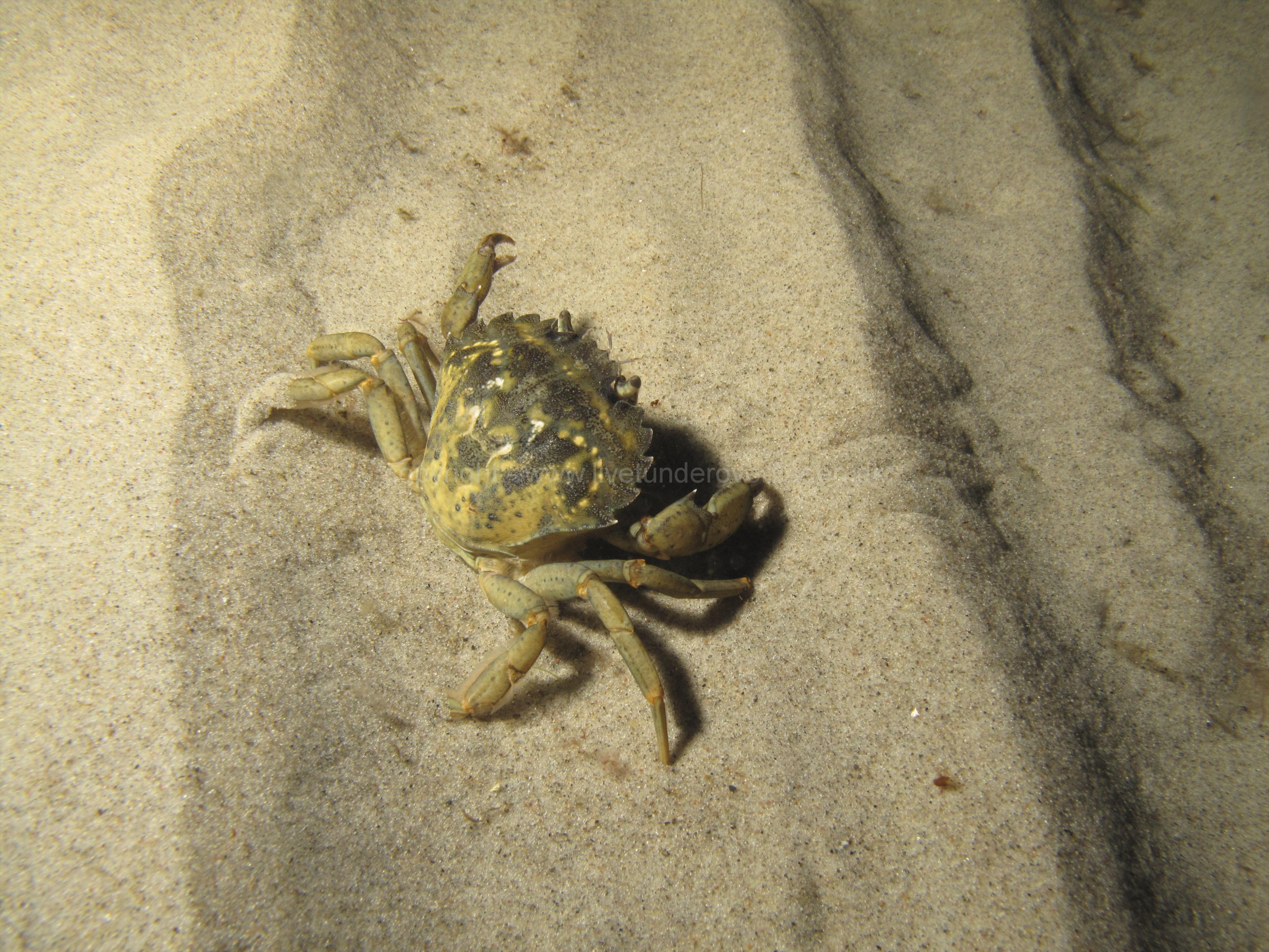 crab_strandkrabbe_martin kielland