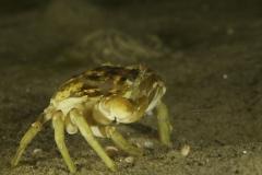 Krebsdyr_crab_strandkrabbe2_martin kielland