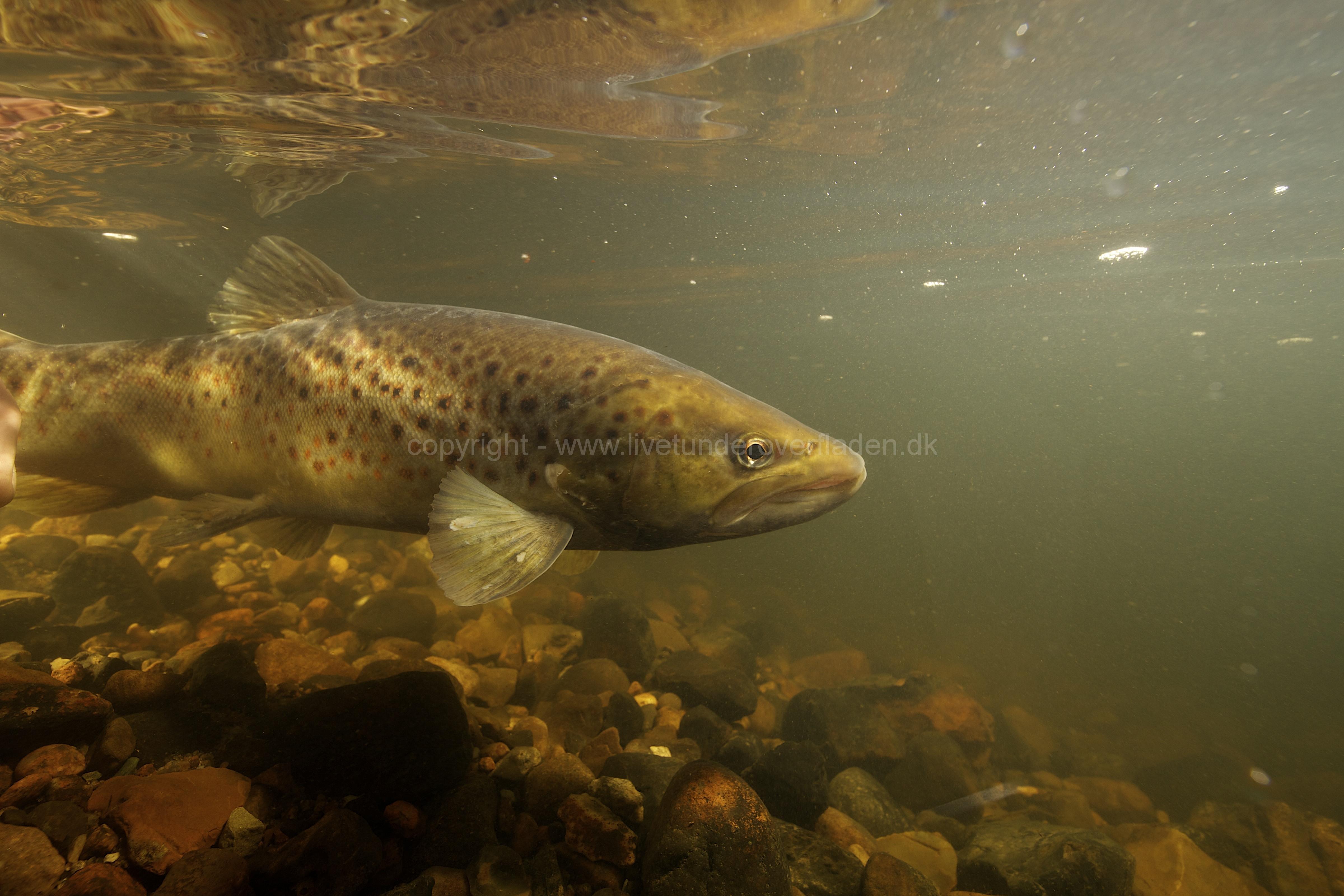 Fisk_Brown-trout_ørred_Martin_Kielland-7