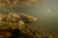 Fisk_Brown-trout_ørred_Martin_Kielland-7