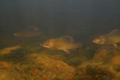 Fisk_Grayling_Stalling_Martin_Kielland-3