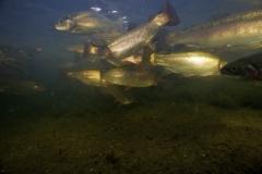 Fisk_Rainbow-trout_Regnbueørred_Martin_Kielland-4-1