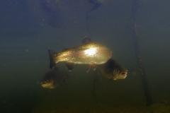 Fisk_Rainbow-trout_Regnbueørred_Martin_Kielland-5-1