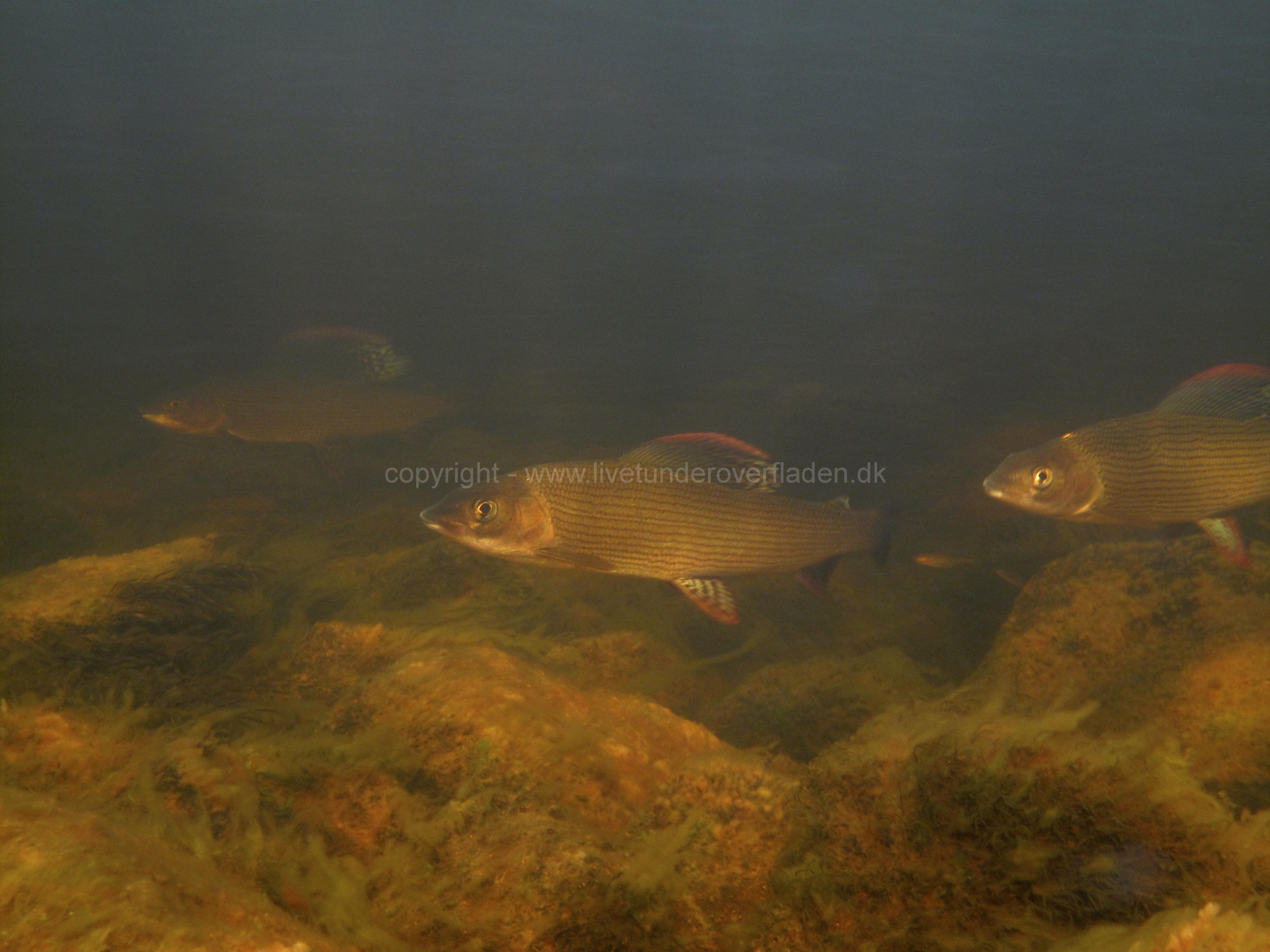 Freshwater habitat_Martin_Kielland 14