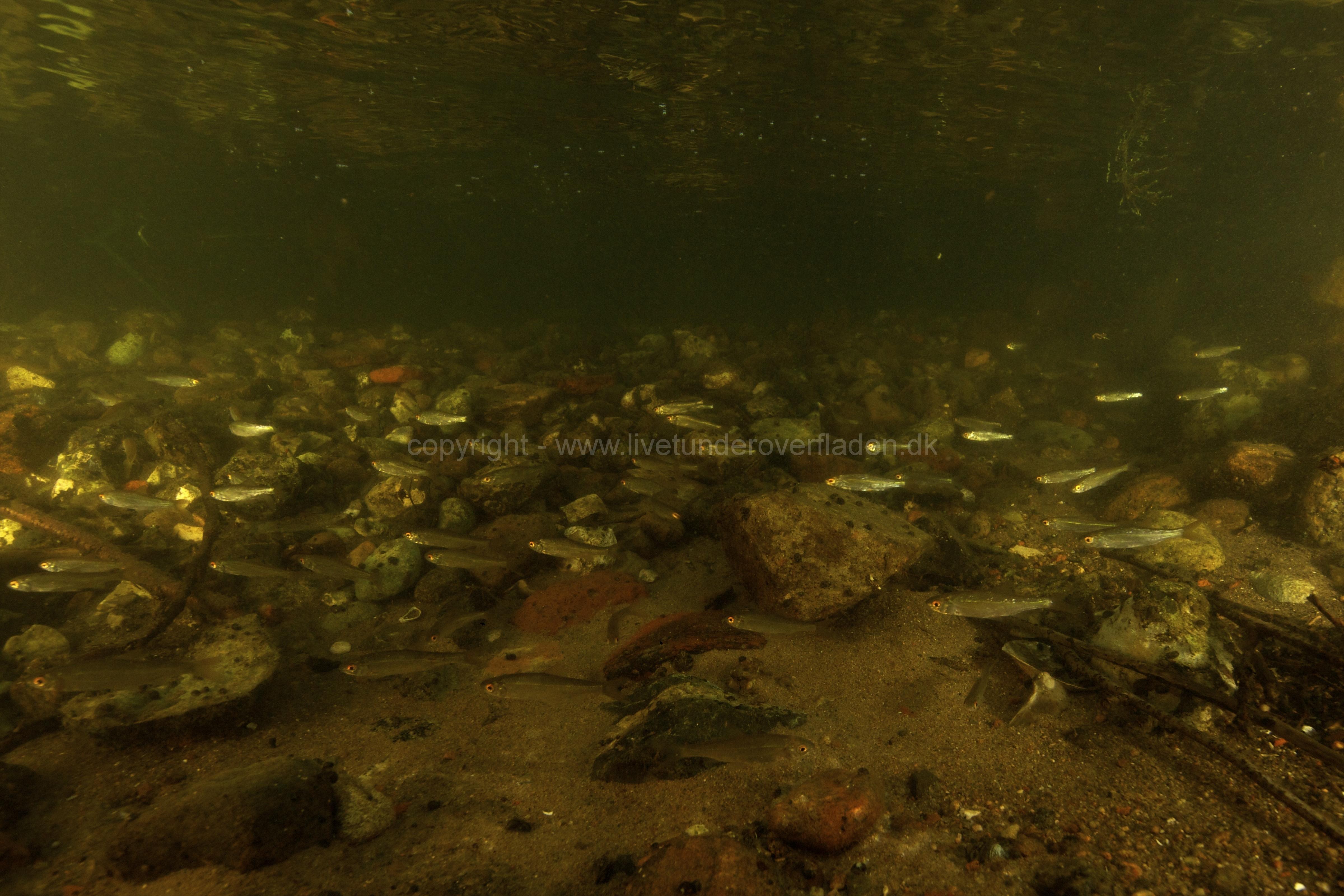 Freshwater habitat_Martin_Kielland 95