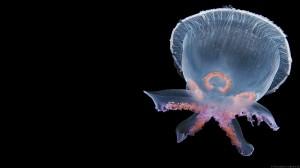En almindelige vandmand i en usædvanlig UFO-form