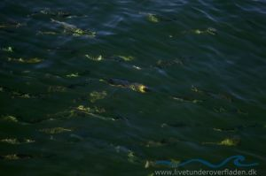 Makreller set fra broen