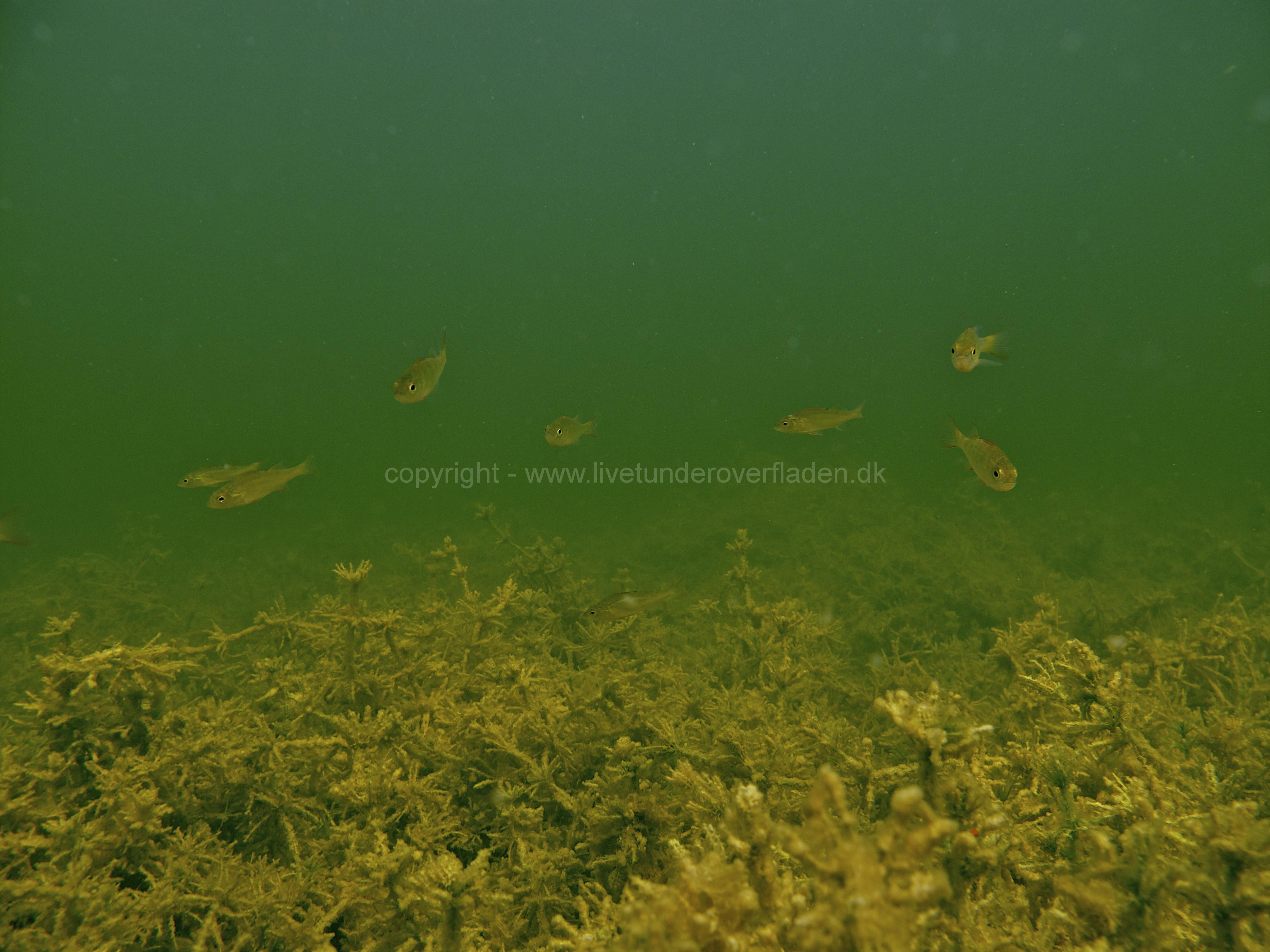 Fisk_perch_aborre_Martin_Kielland-1-1