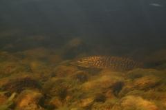 Fisk_Pike_Gedde_Martin_Kielland-2