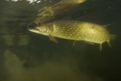 Fisk_Pike_Gedde_Martin_Kielland-8
