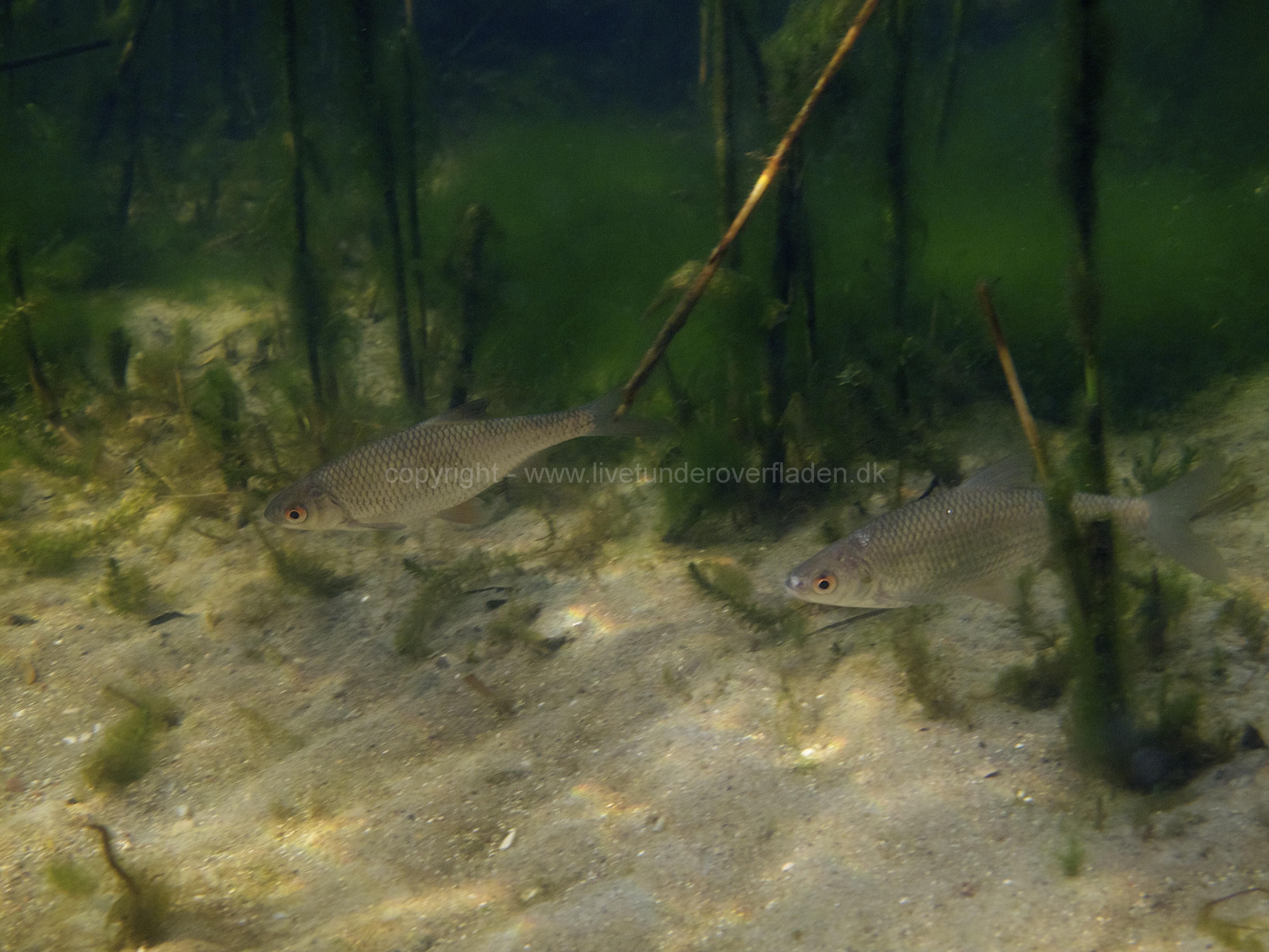 Freshwater habitat_Martin_Kielland 19