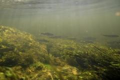 Freshwater habitat_Martin_Kielland 10
