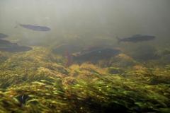Freshwater habitat_Martin_Kielland 11