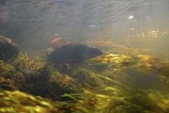 Freshwater habitat_Martin_Kielland 13