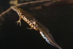 1_Salamander